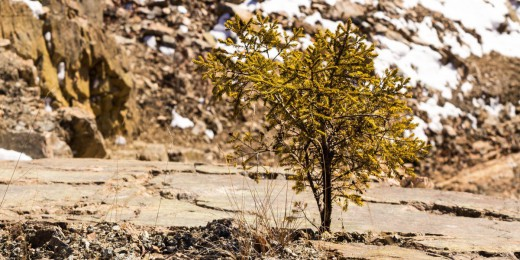 lonely pinetree growing out of stone quarry